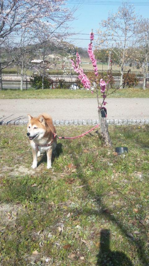 ちっちゃい桜