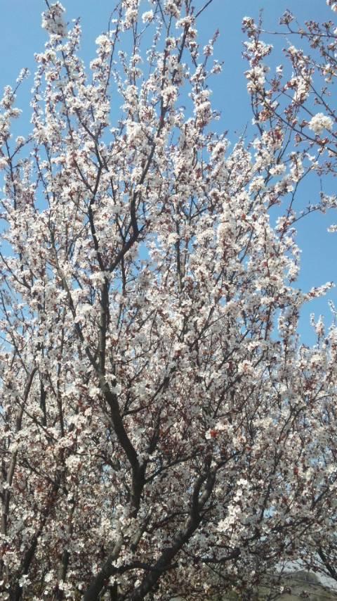 蜻蛉池公園の桜